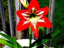 Amaryllis Bulbs 4 Small 2 Year Size Will Not Bloom Spring 2021