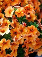 50 Calibrachoa Aloha Kona Mango Live Plants Plugs Diy Planters D10002