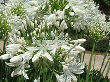 Agapanto blanco, Agapanthus white,  60 semillas, seeds , graines , samen
