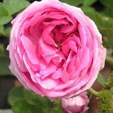Chapeau de Napoleon Shrub Rose - 5.5L Pot Pink Flowers and Strong Fragrance
