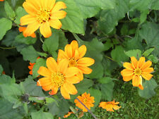 Mexikanische Sonnenblume  Tithonie  Samen