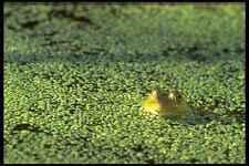 424057 Bullfrog in un BEAVER POND Quebec Canada A4 FOTO STAMPA