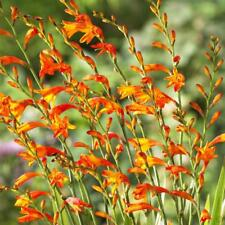 Montbretia Crocosmia 100 x fresh rooted bulbs Coastal Salt tolerant ground cover
