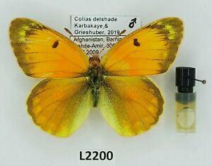 Pieridae, Colias delshade, Karbakaye&Grieshuber2019, male,A2-,Afghanistan,V.RARE