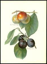1894 Antiguo cromolitografía-Fruta Transparente Gage Ciruela temprano prolífico (40/2
