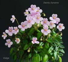 Dainty Dynamo Pflanze/plant African Violet Usambaraveilchen