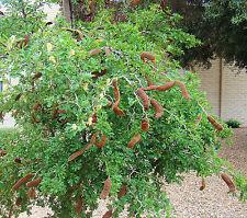MIMOSA TREE VACHELLIA FARNESIANA 50 SEEDS BEST BUY