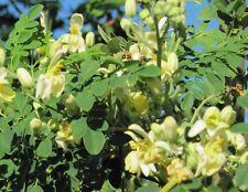 Organic Moringa Tree of Life Seeds - Horseradish Drumstick Tree Seed (upto 8oz)