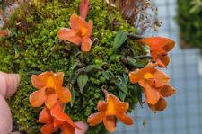 Miniature Dendrobium cuthbersonii yellow/orange 46 bulbs 5 x 10 cm B.S.