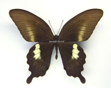 Unmounted Butterfly/Papilionidae - Papilio fuscus pertinax, male, Indonesia, A-