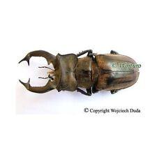 Lucanus sericeus teshii - male, 40-50mm