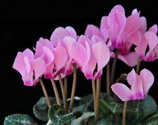 Cyclamen persicum Grandiflora. Rosemary F1 Flower Seeds indoor from Ukraine