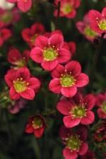 "Pack x6 Pimpinela arendsii 'Rocco Rojo ""Alpine rocosa plantas perennes Plug"