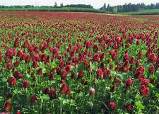 SeedRanch Crimson Clover Seed : Nitro-Coated & Inoculated - 2 Lbs.