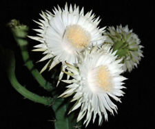 Acanthocereus tetragonus FLORIDA NATIVE cereus tall cactus seed cacti 50 seeds