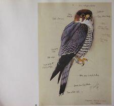 BEAUTIFUL VINTAGE BIRD PRINT ~ KEN WILLIAMS RED-HEADED FALCON ~ TUNNICLIFFE