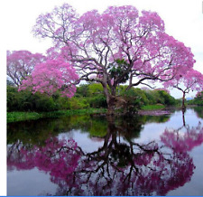 100 Royal Empress Tree Seeds/ Flower Seeds Fast Growing Grows Anywhere/Perennial
