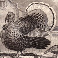 Gravure XVIIIe Dindon Dinde Meleagris Turkey Bird Thanksgiving  Индейки 火雞 1770
