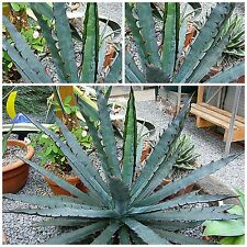50 seeds of Agave xylonacantha 'blue', succulents, cacti, succulents seed C