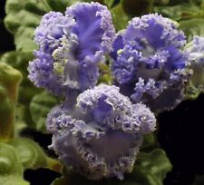 "African Violet Lvs ~ Rs-Venecia ~ Russ/Ukr ""Rs-Venice"""