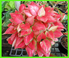 """Perfect Aglaonema """"RED ZIRCON"""" Nice Red Leaf ,Beautiful Compact Form Don't miss!"""