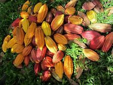 1 whole Cocoa POD  fresh  CACAO , ORGANIC Tropical Fruit LIVE germinete seed