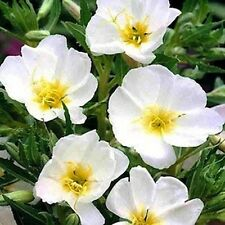 Evening Primrose (Oenothera Pallida)- White- 250 Seeds