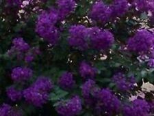 35+  Crape Myrtle Purple Seeds / Perennial Tree