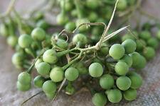20 graines d' AUBERGINE POIS THAÏ (Solanum Torvum)H802 THAI PEA EGGPLANT SEEDS