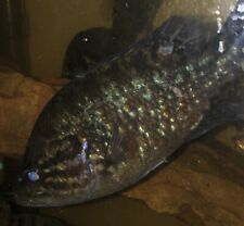 New listing War Mouth Live Fish Freshwater