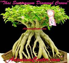 "ADENIUM DESERT ROSE THAI SOCOTRANUM "" DIAMOND CROWN "" 10 Seeds FRESH NEW RARE"