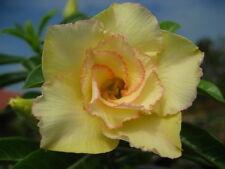 """ADENIUM OBESUM DESERT ROSE """"MAITHONG"""" 2 GRAFTED PLANTS FRESH"""