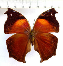 Nymphalidae Salamina cacta hembra ex centralafrikanische república, n235a