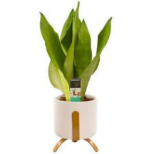Premium Sansevieria Moonshine | 30-40cm Potted Plant Gift | Best Indoor Plants