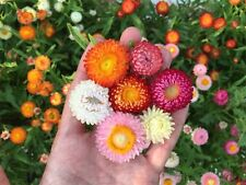 Helichrysum Tom Thumb Mix 100  seeds, Flowers Good For Drying