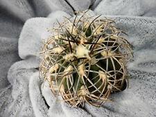 Gymnocalycium spegazzinii / La Punilla Tucuman - Argentina / 1590m - seedling