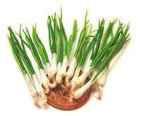 Five Large Untrimmed Spring Onions Dolls House Miniature Kitchen Food Accessory