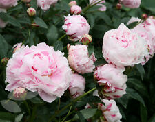 Pretty Pink Peony 'Sarah Bernhardt' (Sections of roots) (Free UK Postage)