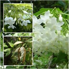 Wrightia religiosa Benth 40 Seeds, Mok Flower Tree, Very fragrant, From Thailand