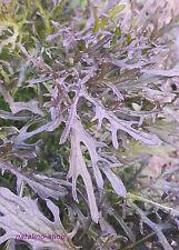 *Mizuna Rot* 150+ Samen *Japanischer Salat o.Blattsenf *Schnittkohl *Asia-Salat