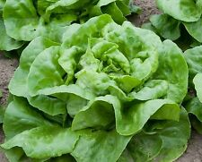 Buttercrunch Heirloom Lettuce Seeds- 1,000+ 2017 seeds-       $1.69 Max Shipping