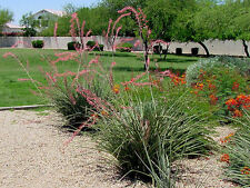 "5 Plant Lot EXTRA LARGE Adult Red Yucca Two Year Old 18"" Tall Xeriscape Desert"