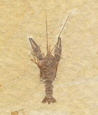 Extinctions- Beautiful, Textbook Solnhofen Lobster Fossil - Fantastic Detail!