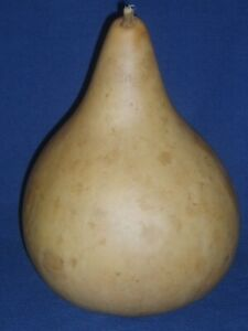"""12 1/2"""" TALL LARGE DRIED/CLEANED CRAFT READY KETTLE GOURD"""