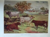 ANTIQUE PRINT C1910 DAIRY SHORTHORNS COWS COLOUR PRINT COW FARM ANIMALS DAIRY
