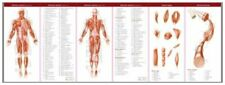 Muscular and Skeletal Systems: Study Guide (Anatomical Chart Compan... Undefined