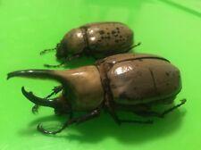 ARIZONA DYNASTES GRANTI HERCULES BEETLE Scarab Insects Dead Specimens
