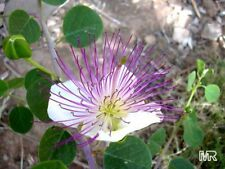 Common Caper Seed Edible Fruit & Buds Hardy Small Shrub Drought Tolerant