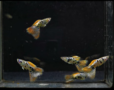 QUALITY GUPPY FISH MINI TIGER KING COBRA  1 PAIR  (1MALE+1FEMALE)