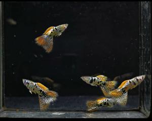 QUALITY GUPPY FISH MINI TIGER KING COBRA  1 PAIR  (1MALE+1FEMALE)